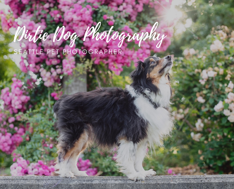 Dirtie Dog Photography Seattle Pet Photographer
