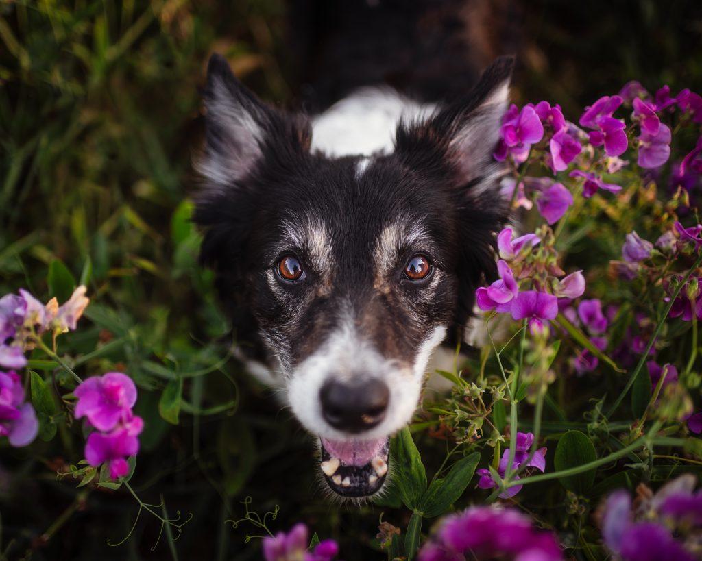 Seattle dogs in flowers.
