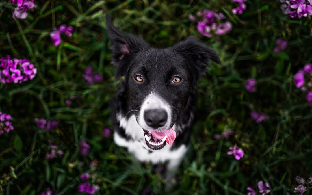 5 Reasons I Photograph Seattle Dogs in Flowers